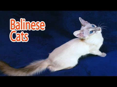 Balinese Breed