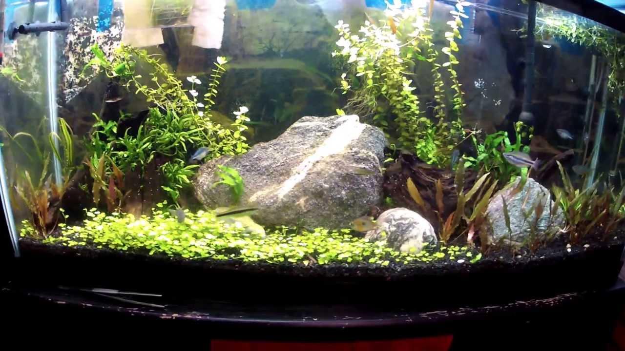 Dwarf Pennywort Carpet Update Hydrocotyle Sibthorpoides