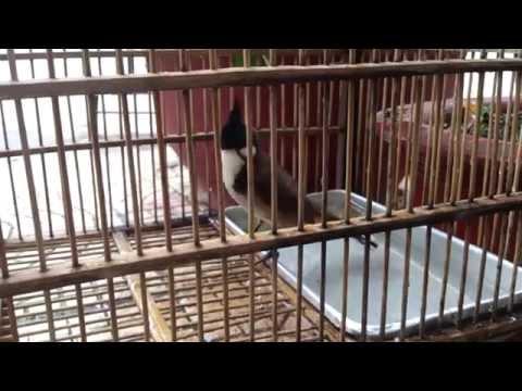 Chim Tắm - Chim Chào Mào Hót Hay