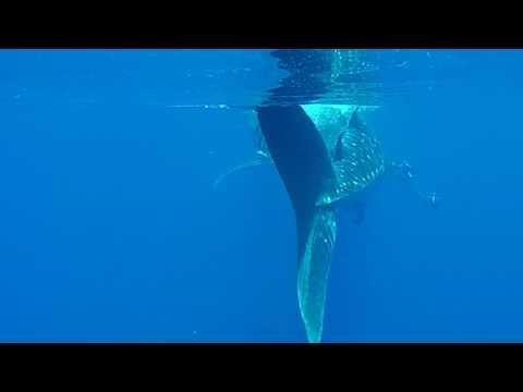 Whale Shark   July 2, 2017