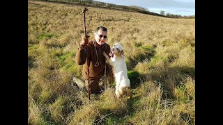 Working Clumber spaniel on Christmas morning hunt