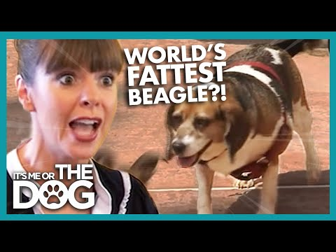 How to Help Your Beagle Lose Weight | It's Me or the Dog