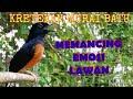 Suara Murai Batu Juara Cocok Untuk Pemula Dan Masteran  Mp3 - Mp4 Download
