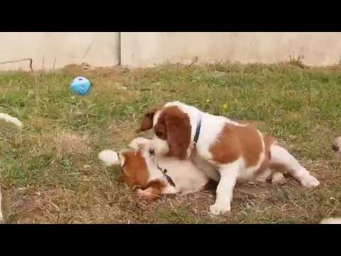 Irish Red and White Setter puppies - Shadow Dog