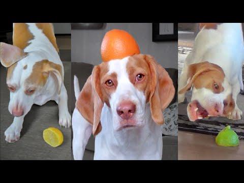 Funny Dog Maymo vs. Citrus Compilation