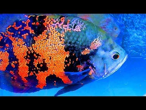Аквариумные рыбки гуппи уход за гуппи в аквариуме