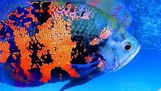 Аквариумные Рыбки. Астронотусы. Глазчатый Астронотус. Аквариумные Рыбки Видео. Астронотусы Видео