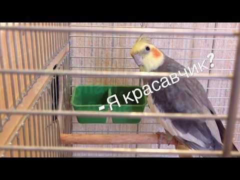 Как спариваются попугаи корелла видео