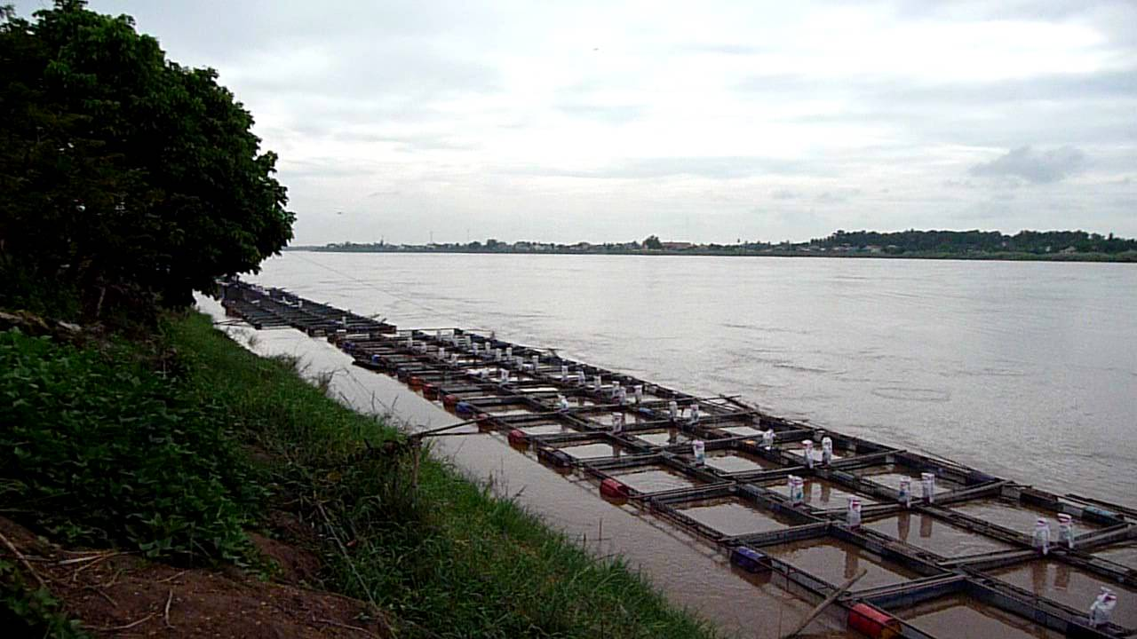 Tilapia Fish Farm, Mekong River Vientiane Laos - YouTube