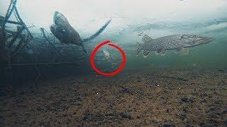 ЩУКА, ОНДАТРА і ЛІНЬ Зимова риболовля на Жерлицы Підводна зйомка