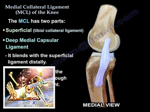 Medial Collateral Ligament Of The Knee - Everything You Need To Know ...