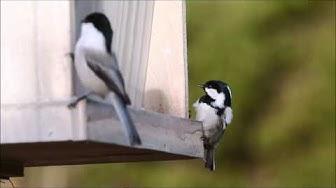 Nokittavaksi, lintuja ruokintapaikalla joulukuu 2014