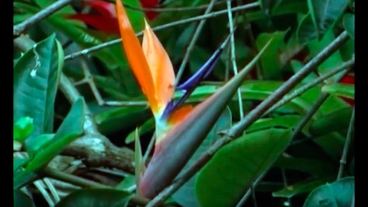 Reproduccion asexual en plantas por rizomas de heliconia
