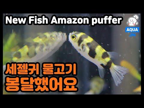 New Fish Amazon Puffer 새식구 남미 복어 왔어요! 입수시키다가 너무 귀여워서 심멎…. (ENG SUB)