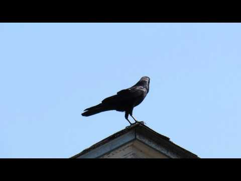 Funny bird sound uh oh fish crow in florida funnycat tv for Fish crow call