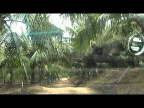 Coconut farm in