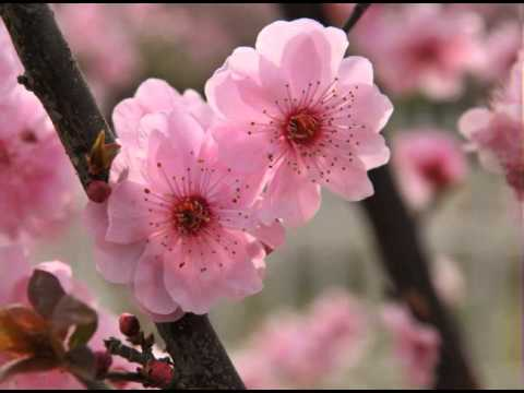 beautiful chinese flowers music  the peach blossom melody, Beautiful flower