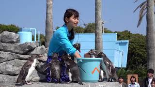 京急油壺マリンパークのキタイワトビペンギン