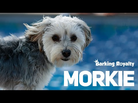 Morkie - The Ultimate Guide to Maltese and Yorkie Crossbreed