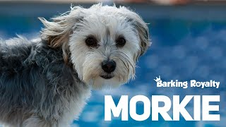 Morkie  The Ultimate Guide to Maltese and Yorkie Crossbreed