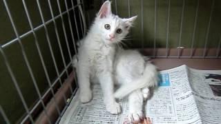 1 子猫保護記録 13 保護から回復まで   The Record Of Injured Kitten 13