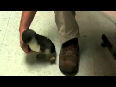 Les bébés pingouins sont chatouilleux