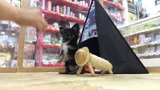 飼い主さま募集中の子犬ちゃん。 おりこうさんで、色々覚えました.