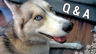 Best & Worst Things About Siberian Huskies - Fan Friday #54