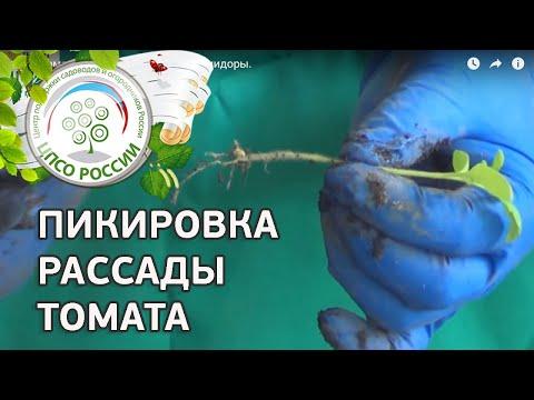 Как пикировать сеянцы томата или как пикировать помидоры. Пикировка рассады томатов.   выращивание   пикировать   пикировка   помидоры   томатов   помидор   томаты   пикиро   как
