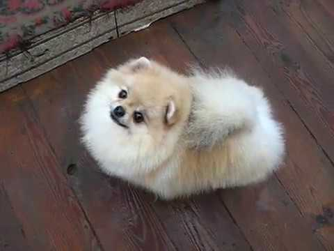Pomeranian female Tiara Silver Dream Iz Knyaginino, age 1,5 y (1) Sold.