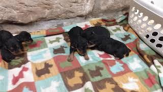 ClaraIroh 4/8/21 Welsh Terrier Puppies   2 weeks old