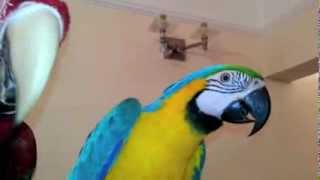 Premier Parrots - Blue and Gold Macaw Baby BG1 (Meet Blue)