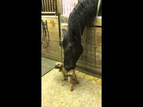 Border terrier puppy and Friesian horse play together.