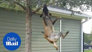 Amazing gymnastic dog tries to break branch from tree - Daily Mail
