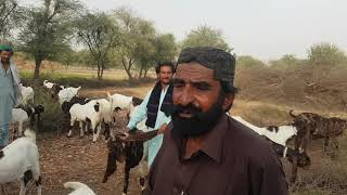 Pure pateri goats complete documentary and history of goats, sindh pakistan