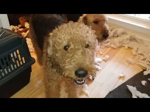 My Life Living With A Pack Of Airedale Terriers On December 28, 2018