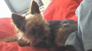 Scooby The Yorkshire Terrier