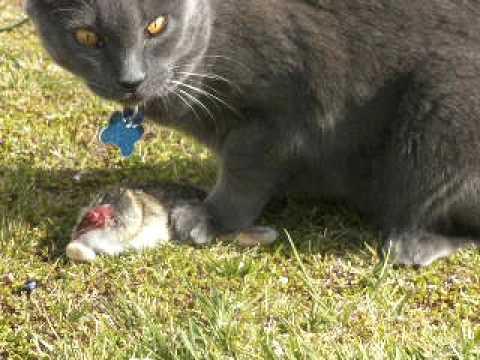 Cat Eating Rat