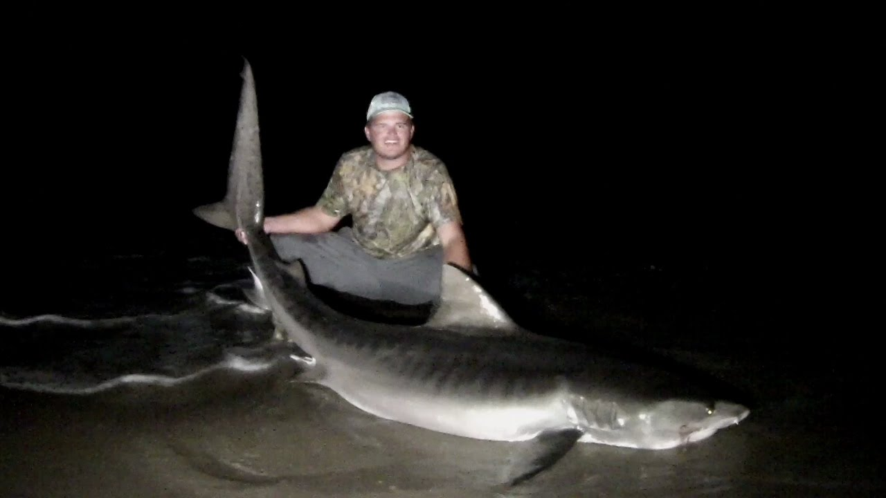 Huge 8 39 8 tiger shark from the beach land based shark for Shark fishing nc