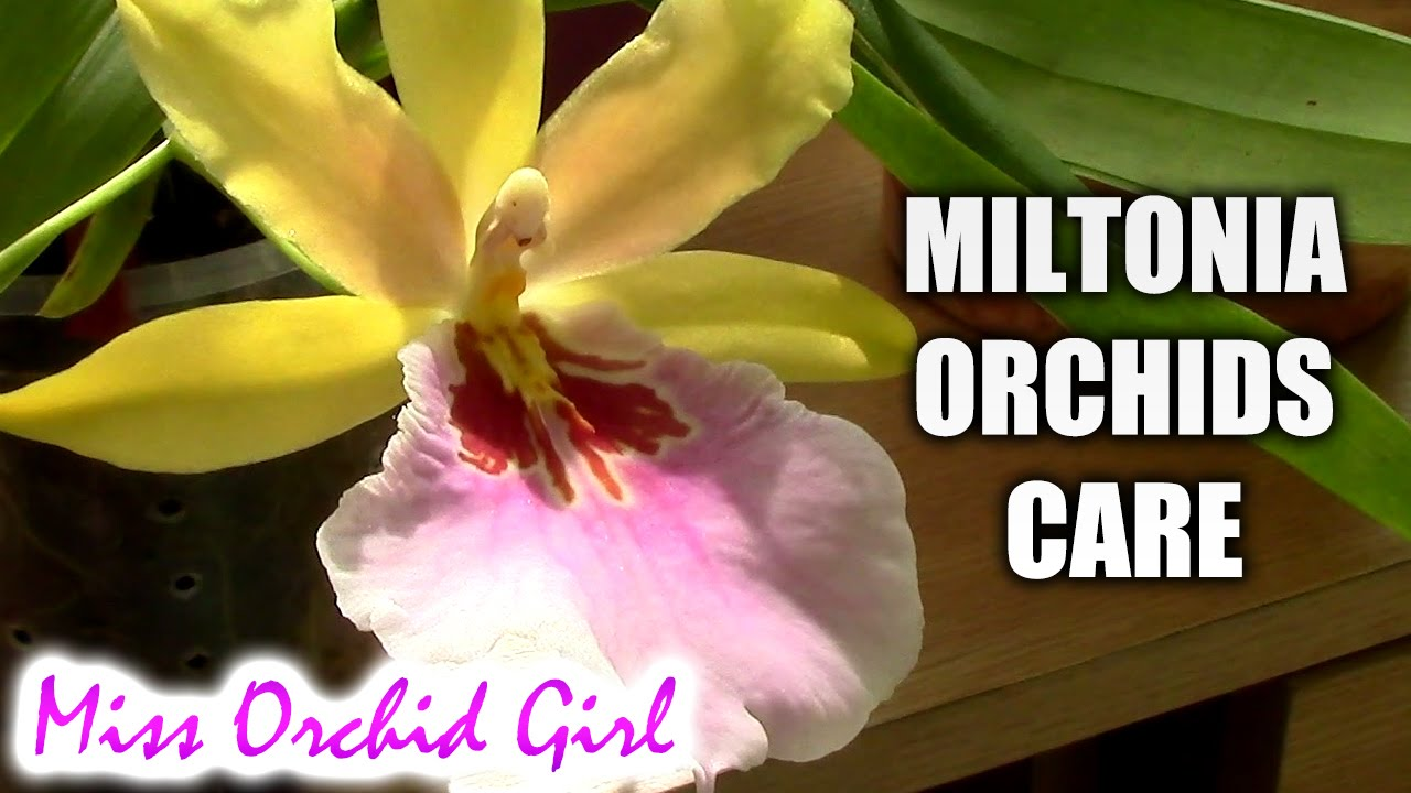 Orchid Care Miltonia Orchids Basic Culture Youtube