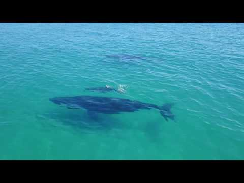 Fraser Island 2017 - 2 Whales and Calf off Sandy Cape