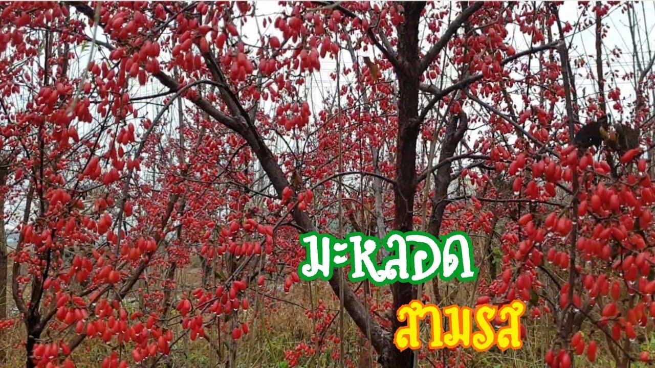 #มะหลอด#เกาหลีใต้ สีแดงเต็มสวนมางามคักแท้หนอไปเบิ่งนำกันครับ
