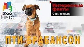 Пти брабансон - Интересные факты о породе | Порода собаки Пти брабансон