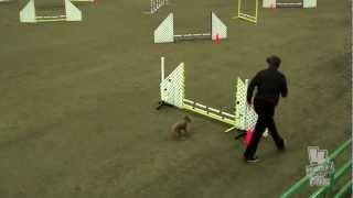 Zoe Sun Excellent Jww Staffordshire Bull Terrier Club Of America Akc Dec 2012