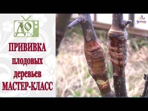 Прививка плодовых деревьев. ПРОСТОЙ и ДЕЙСТВЕННЫЙ СПОСОБ. МАСТЕР КЛАСС