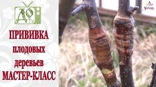 видео Как правильно прививать плодовые деревья