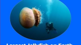 Which is the Largest Jellyfish in the World ?