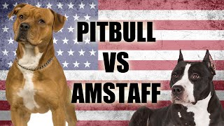 THE PITBULL VS THE AMSTAFF  SIDE BY SIDE COMPARISON