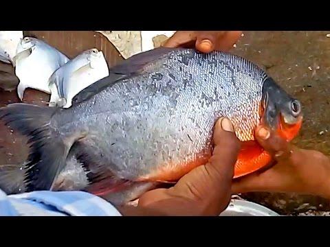 Fastest Cutting Fish | Big Pomfret Fish Cutting | Red Pomfret Fish Cutting Video