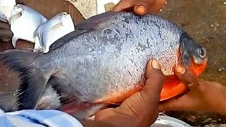 Fastest Cutting Fish | Big Pomfret Fish Cutting | Red Pomfret Fish Cutting Video